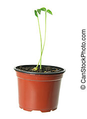 Young Plant in Pot