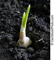 plant of garlic