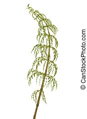 horsetail - young plant of horsetail on white background