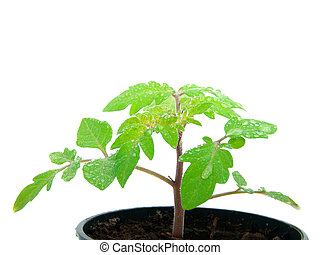 young plant sprout in peat pot on white background