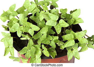 Young plants in the pot