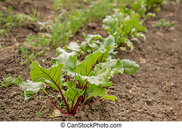 Young plants of beet in the garden.