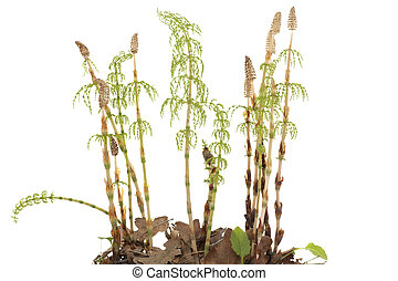 horsetail - young plants of horsetail on white background