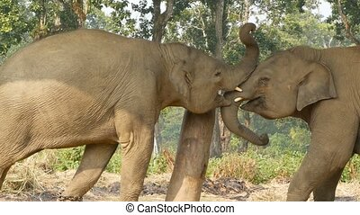 Young playful elephants in Chitwan national park. Side view of young elephants playing with each other, Nepal