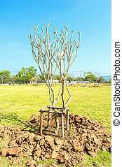 young plumeria tree with flowers growing from soil