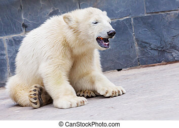 young polar bear sits on the ground