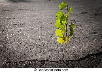 young poplar tree growing through crack in asphalt,survival...