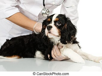 Young positive brunette veterinary woman holding spaniel...
