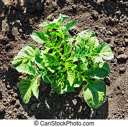Young potato bush on the ground in a field.