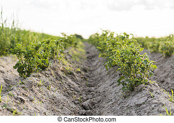 Young potato on soil cover. Plant close-up. The green shoots of young potato plants sprouting from the clay in the spring.