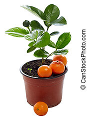 young potted mandarin plant with immature and ripe fruits isolated on white