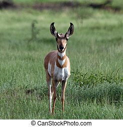 Young Pronghorn antelope watching for danger