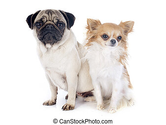 young pug and chihuahua in front of white background