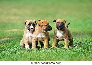 puppies belgian shepherd malinois - young puppies belgian...