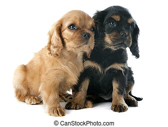 puppies cavalier king charles - young puppies cavalier king...