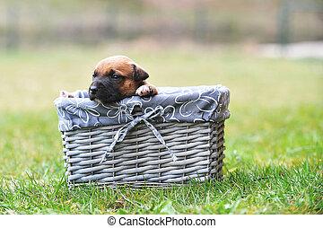 puppy belgian shepherd malinois - young puppy belgian...