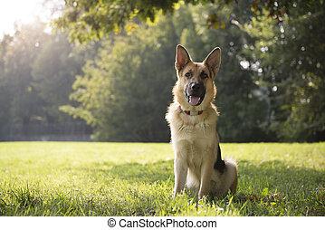 young purebred Alsatian dog in park - young German shepherd...