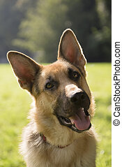 young purebred Alsatian dog in park