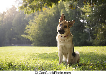 young purebred Alsatian dog in park - young German shepherd...