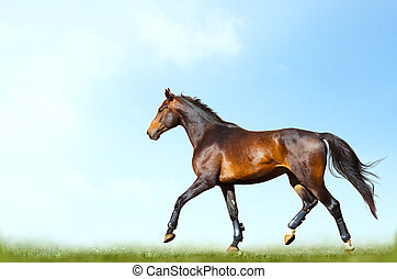 bay horse training in summer - Young purebred bay horse ...