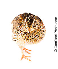Young quail on a white background