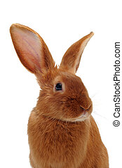 young rabbit fauve de Bourgogne sitting in front of white...