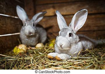 Young rabbits in a hutch (European Rabbit - Oryctolagus ...