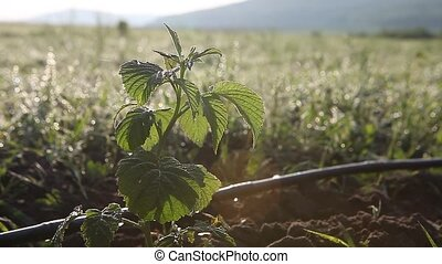 Young raspberry sprout in the field with drip watering...