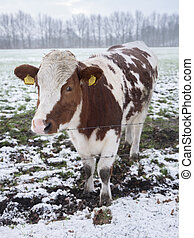 young red and white cow in snow covered meadow near utrecht in holland