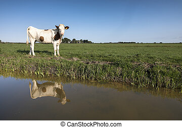 young red and white holstein cow in green meadow reflected in dutch canal
