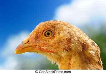 Young Red Chicken Close-Up