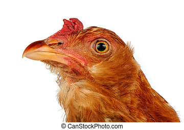 Young Red Chicken Close-Up on White Background