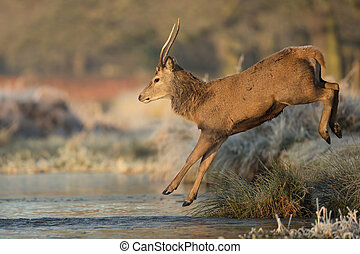 Young red deer male jumps into a stream of water