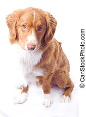 Nova Scotia toller - Young red Nova Scotia toller isolated...