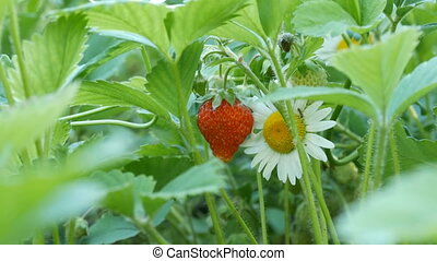 Young red strawberry grows on bush next to a camomile -...
