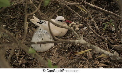 Young Red-Tailed Tropicbird, Lady Elliot Island