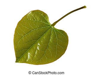 Young Redbud Leaf