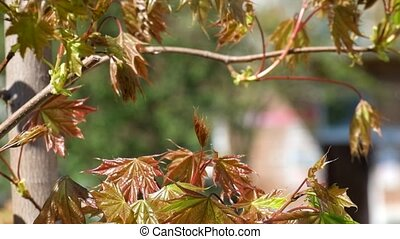 Young reddish maple leaves rustles the wind. Background for...