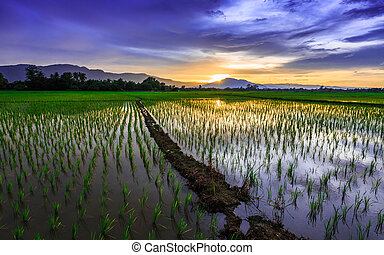 Young rice field against reflected sunset sky, Chiang Mai, ...