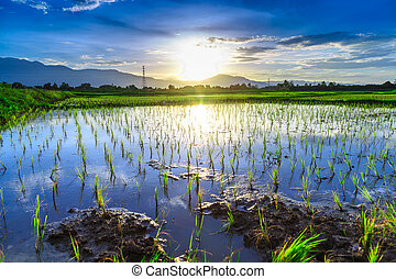 Young rice field with mountain sunset background