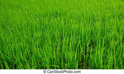 Video 1920x1080 - Slow, panning shot of young, green rice plants, growing from a lowland paddy near Sukhothai, Thailand.