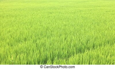 Young rice in rice field in Thailand, High quality footage -...