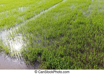 Young rice plantation