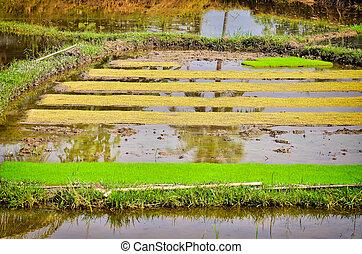 Rice seedlings in field