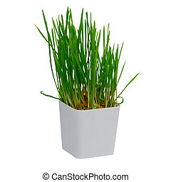 Young rice sprout growing in small plastic pot over white backgr
