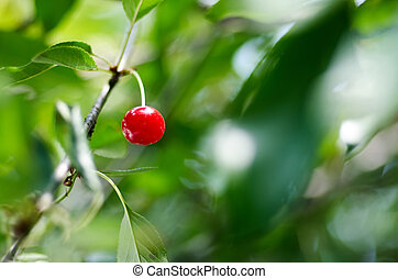 Young ripening cherries on a tree in the garden on the farm. Rip