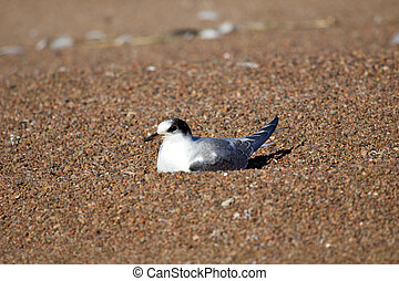 Young river tern (Common Tern) sitting on beach