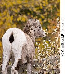 Young Rocky Mountain Bighorn Sheep