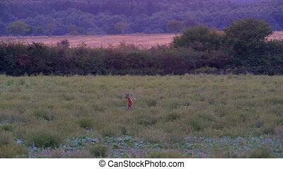 Young roe buck in the evening meadow
