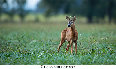 Young roe deer buck standing on a agricultural field at dusk in summer.